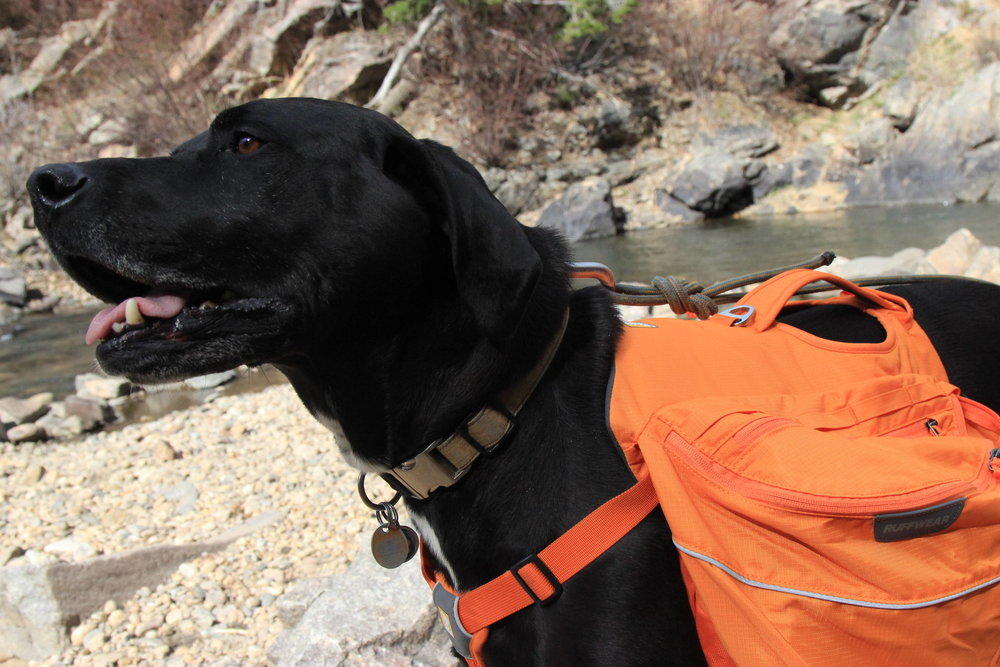 labrador with dog pack